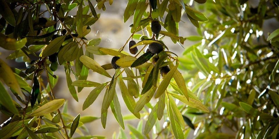 raccolta olive in palestina